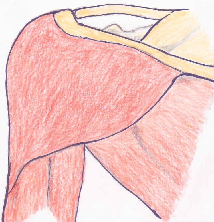 Schultermuskel_links_1
